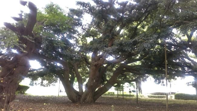 この木なんの木 平塚の木.jpg