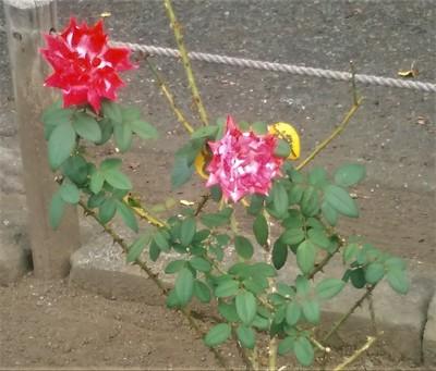 バラも咲いていました.jpg