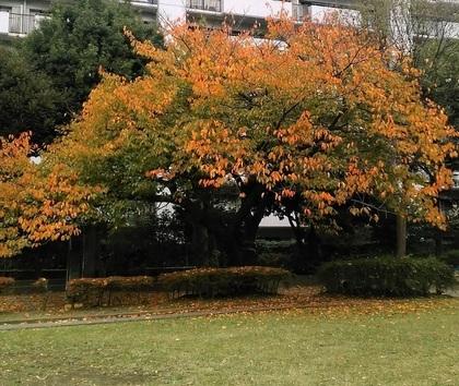 桜の紅葉20201101.jpg
