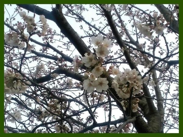 長久保公園 さくら 20190325.jpg