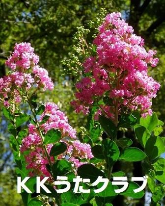 KKうたクラブ 2017 8月 さるすべり.jpg