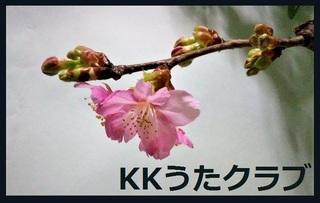 KKうたクラブ 2020 2月河津桜.jpg
